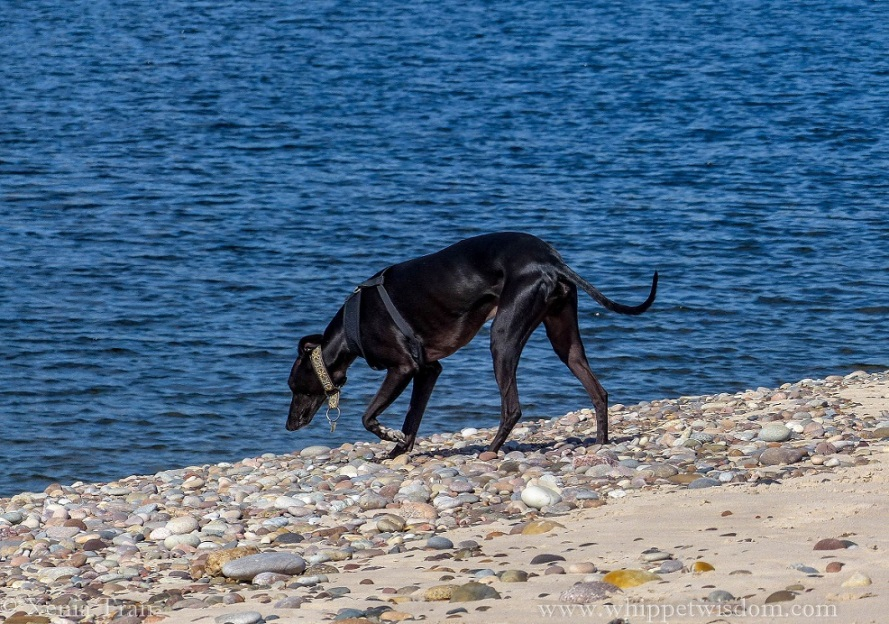 a black whippet on sand and shingle looking at the water below