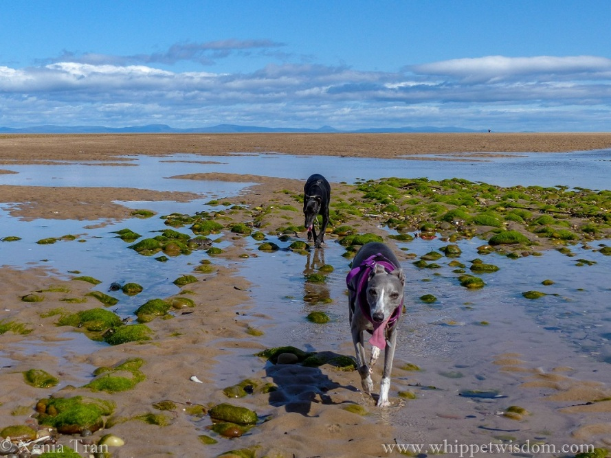 two whippets walking across tidal pools with seaweed-covered stones