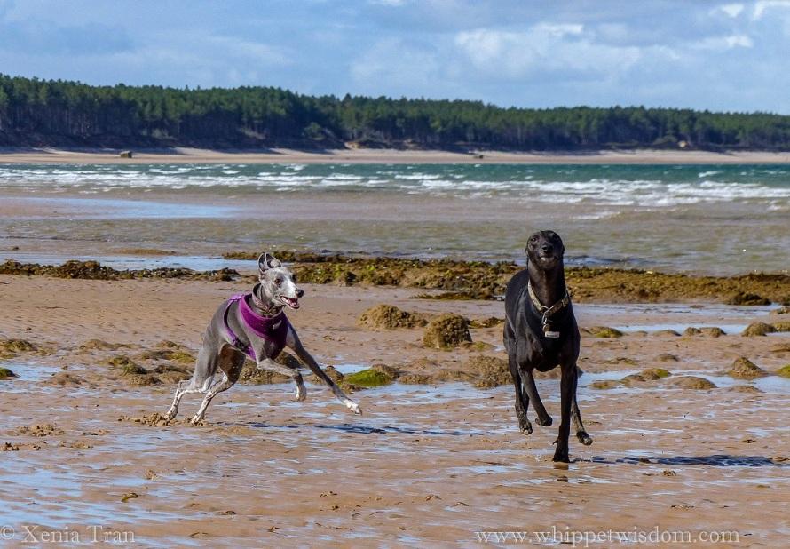 two whippets running on wet tidal sands, having fun