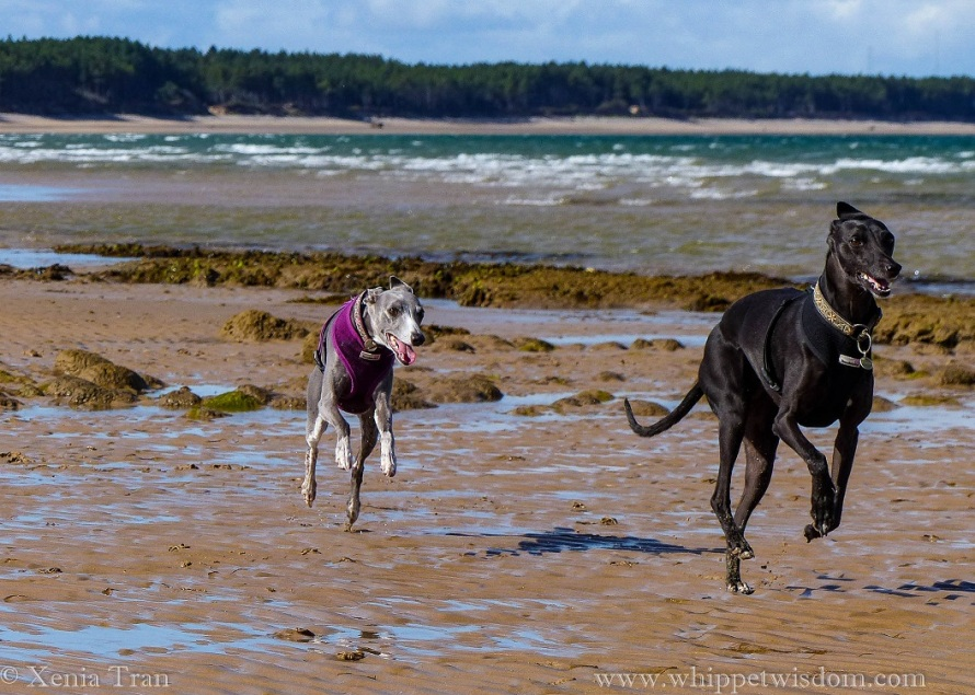 two whippets running on tidal sands in the sunshine with big smiles on their faces