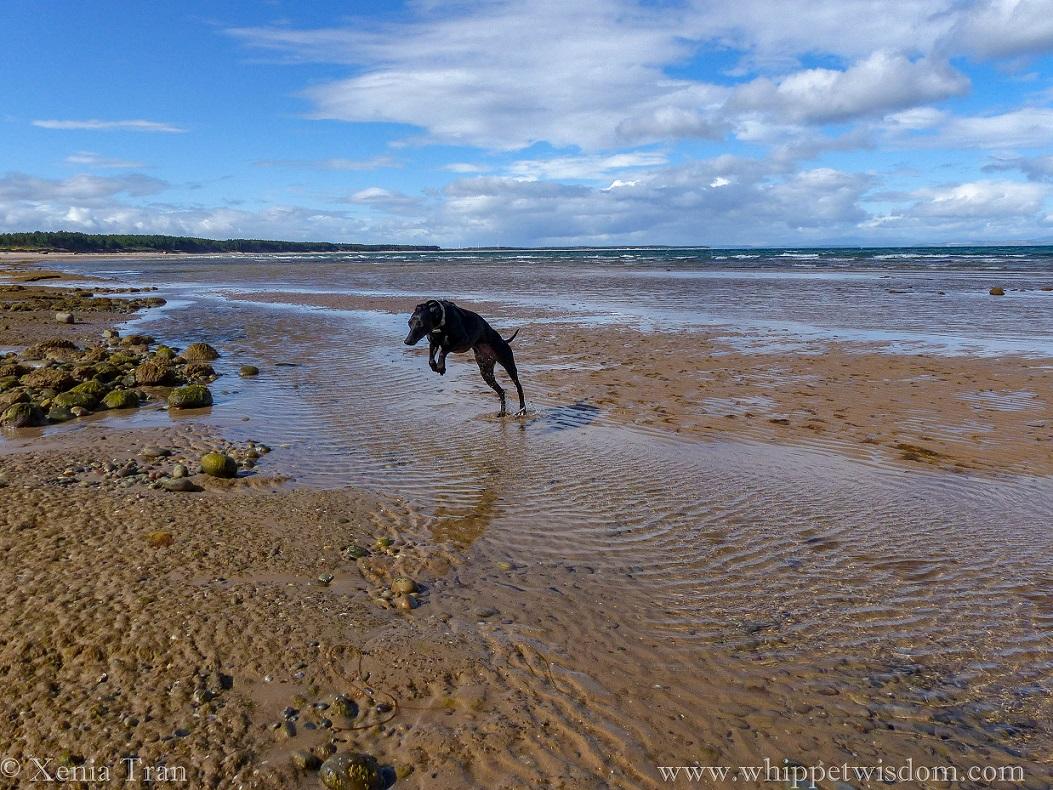 a black whippet leaps across tidal water