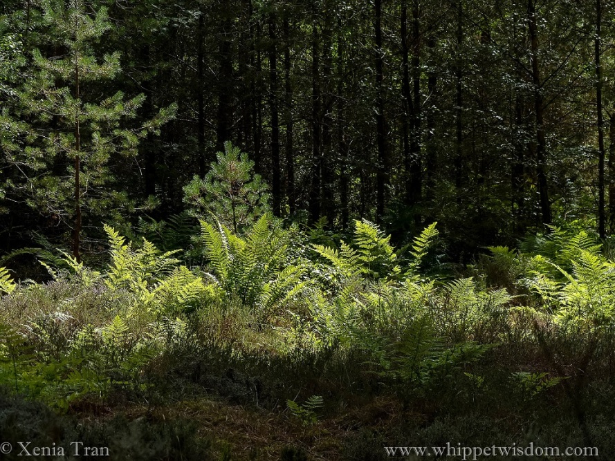 ferns reach out to the sunlight among pine trees