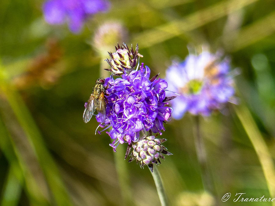 close up shot of hoverfly on purple scabiosa flower