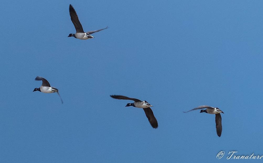 Four Canada geese flying overhead against a blue sky