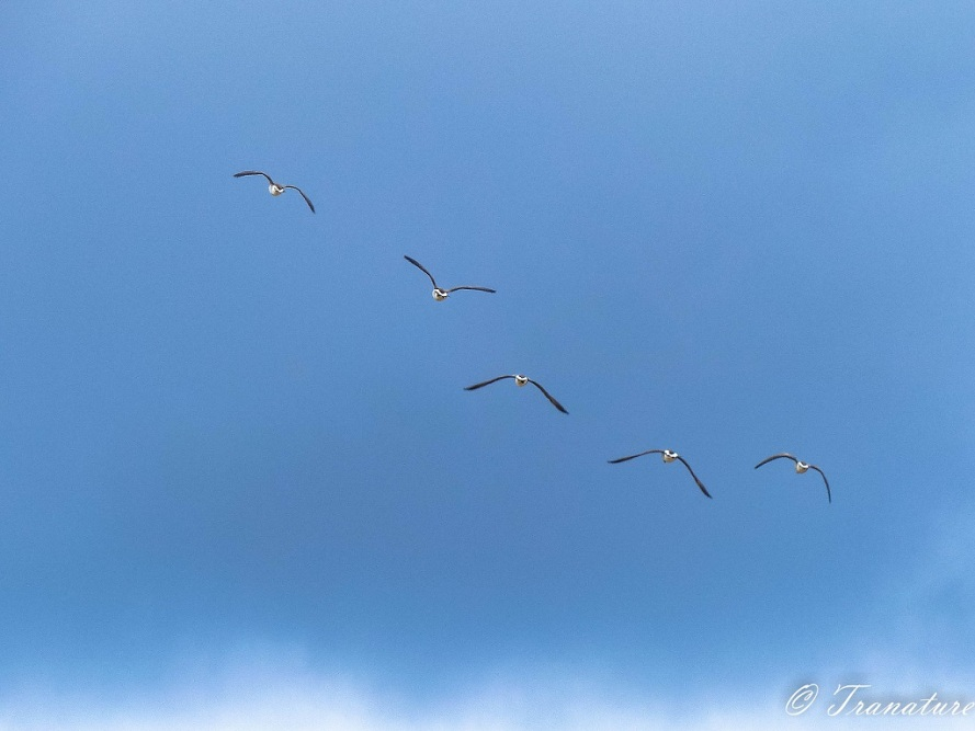Five Canadian geese flying North against a blue sky