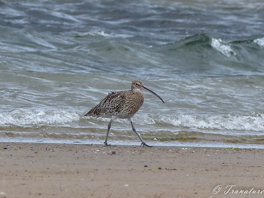 a curlew striding out on the shoreline, waves rolling behind