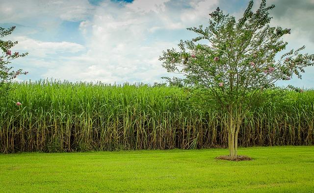 sugarcane-439880_640