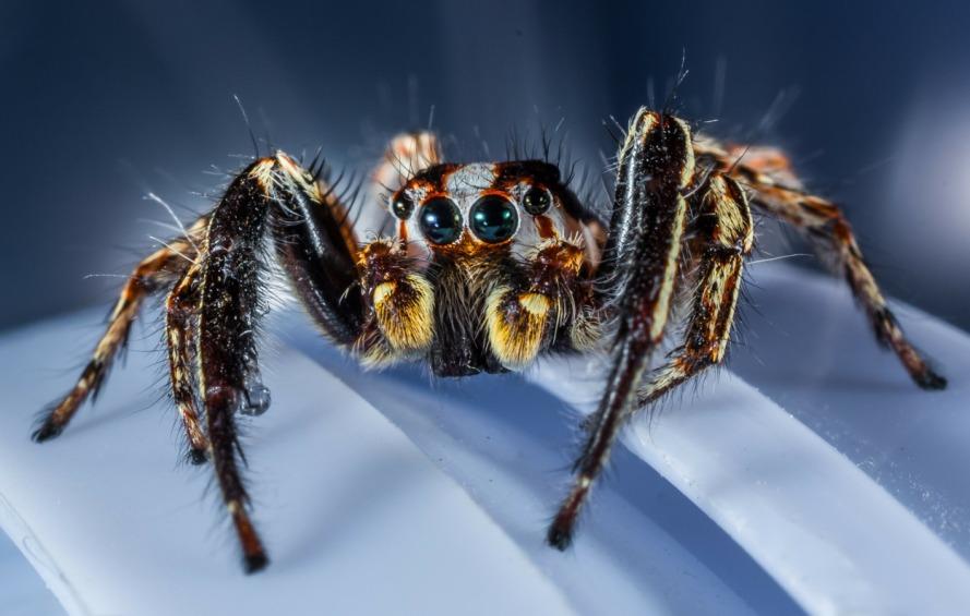 jumping-spider-300447_1920