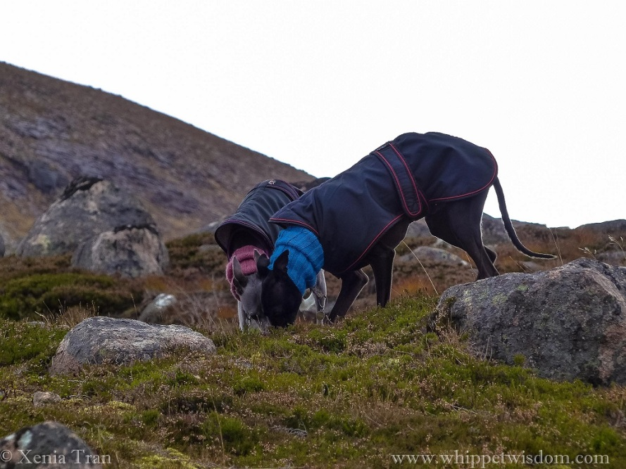 two whippets in winter jackets and snoods bending down together to sniff something on top of the mountain