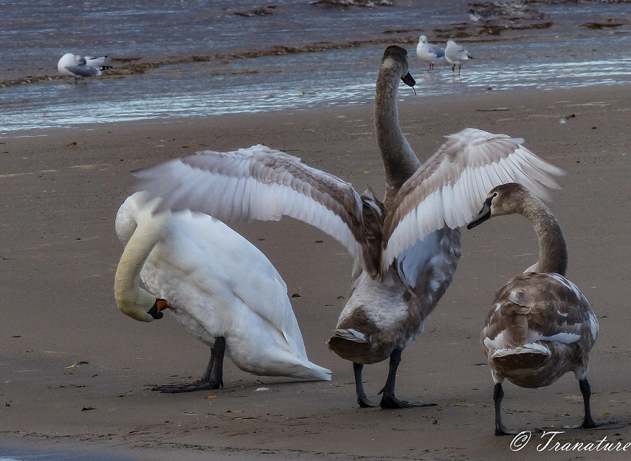 two fully grown cygnets beside their preening mother on the beach, one cygnet fanning his wings