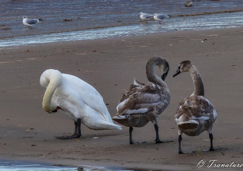 two fully grown cygnets walking past their preening mother on the beach