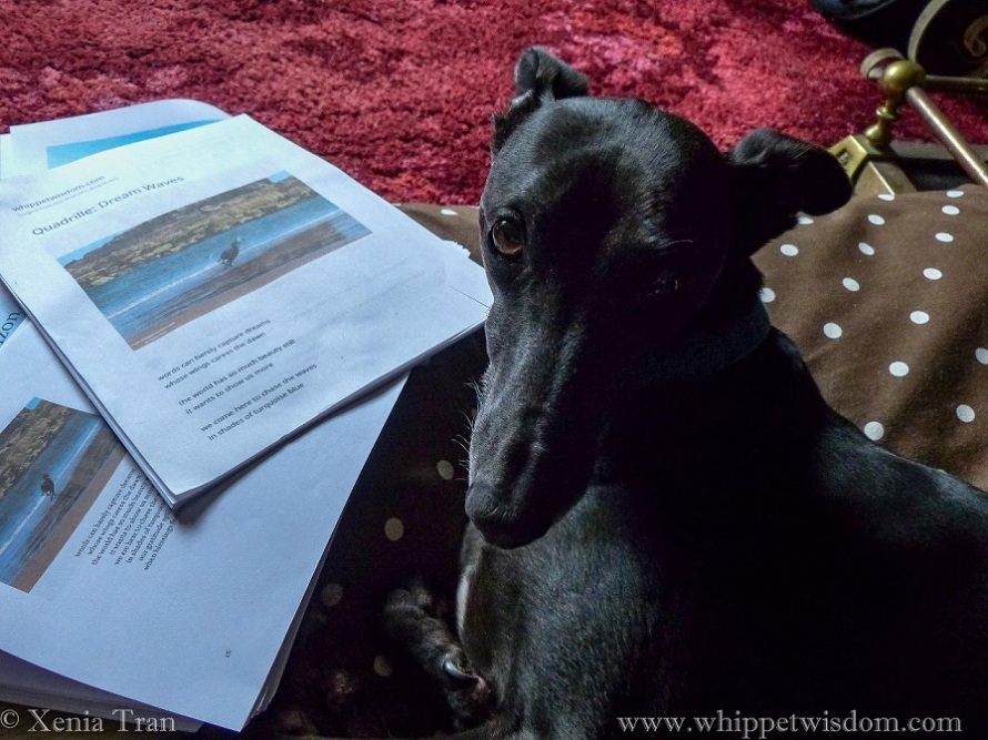 black whippet looking over his left shoulder towards the camera, several draft papers beside him on the floor