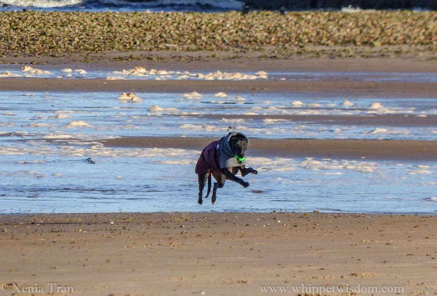 a black whippet in a winter jacket flies across the tidal sands with a green ball