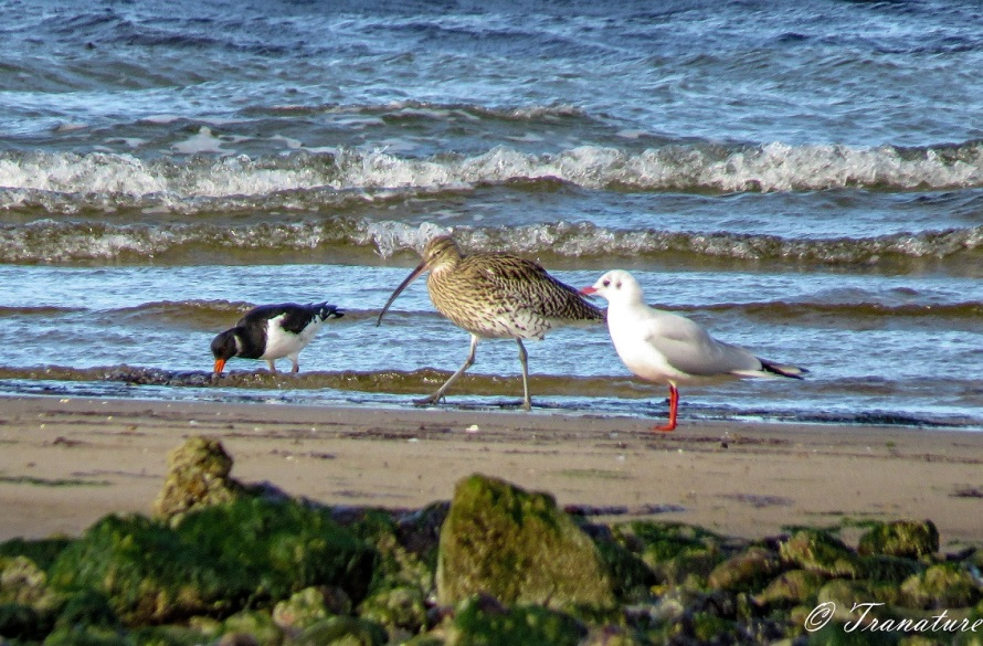 an oystercatcher diggin for food in the sands watched by a seagull, a curlew striding on between them