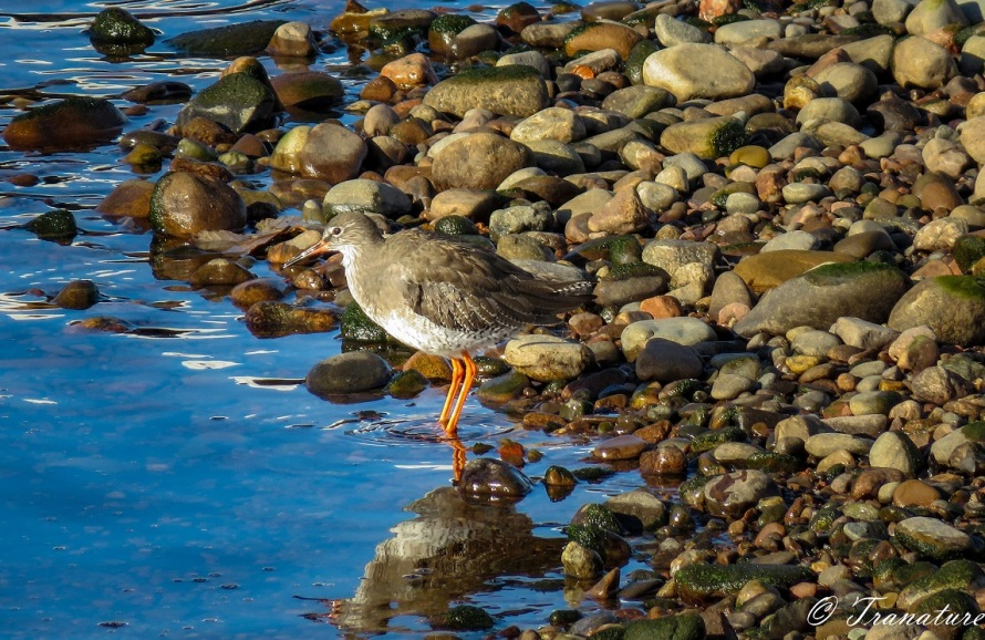 a redshank standing in the river at low tide beside the stones