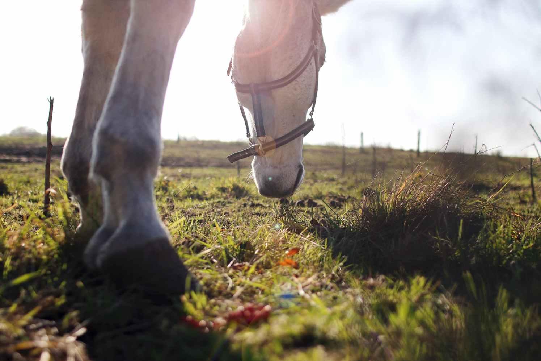 eat grass horse
