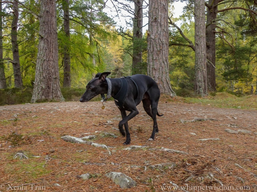 black whippet in a black harness and celtic collar striding along the loch shore