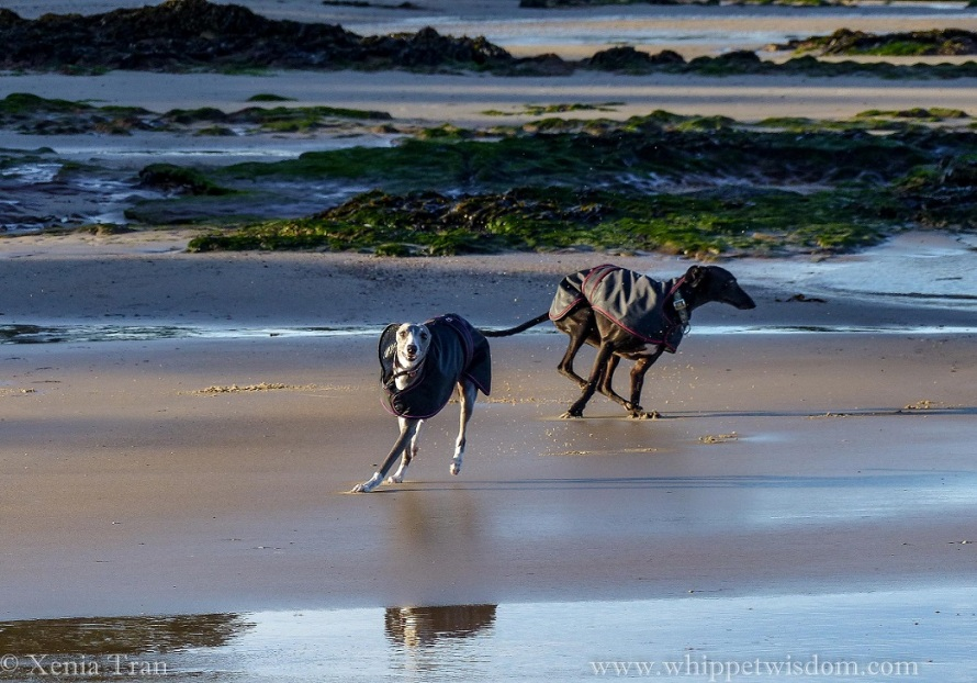 two whippets in black winter jackets playing on the tidal sands