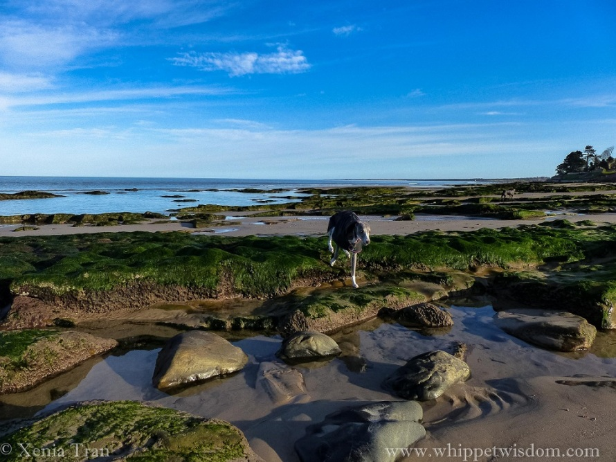 a blue whippet in a winter jacket walking across seaweed covered stones beside a tidal pool