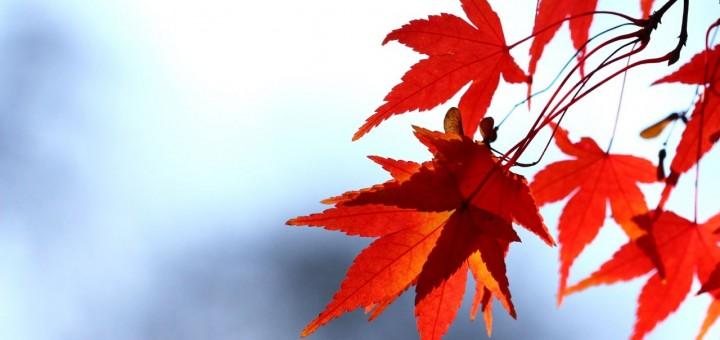 red-leaf-720x340