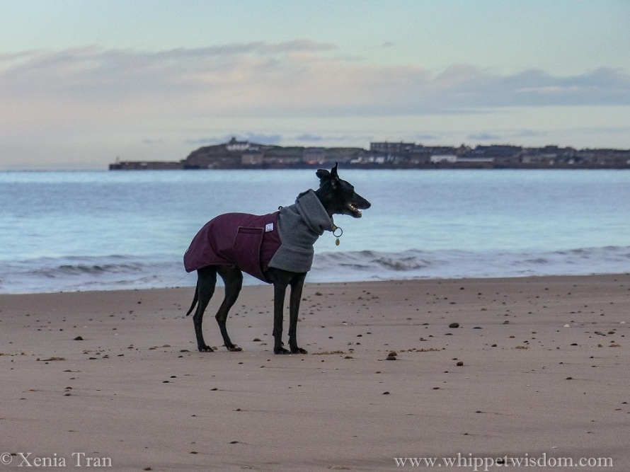 a black whippet in a winter jacket smiling on the shore at sunrise