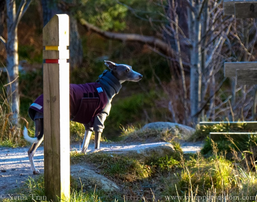 a blue whippet in a maroon and grey winter jacket pausing behind a signpost beside a flowing stream
