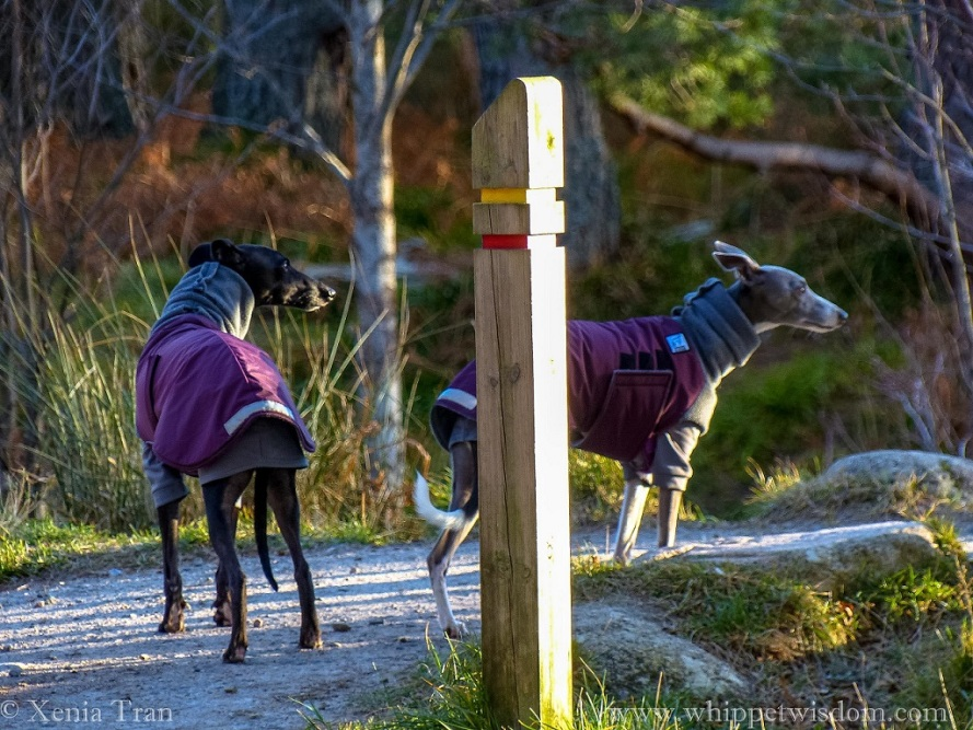 two whippets in maroon and grey winter jackets waiting behind a signpost beside a flowing stream