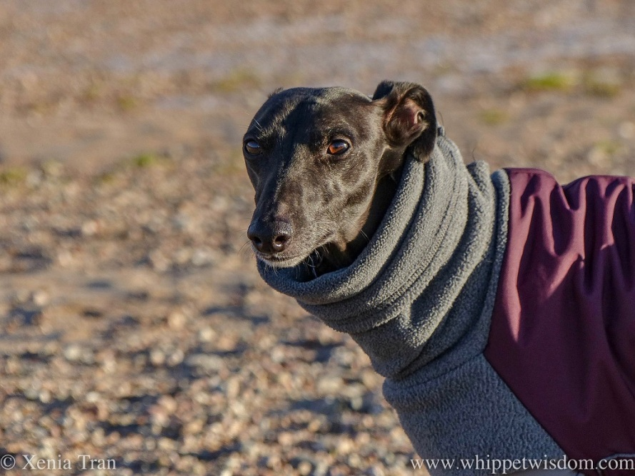 close up portrait of a mature black whippet in a winter jacket