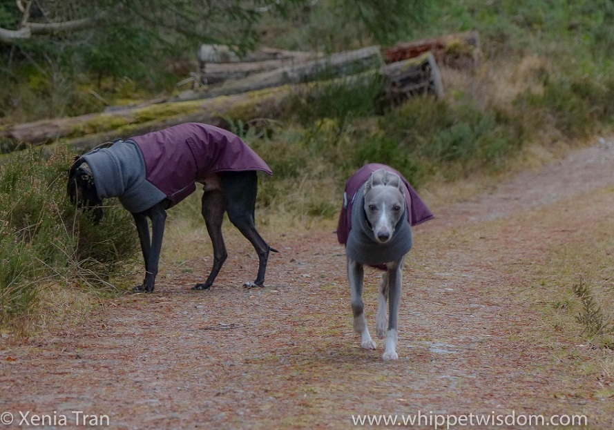 a blue whippet in a winter jacket walking towards the camera and a black whippet in a winter jacket sniffing the grass on a forest trail