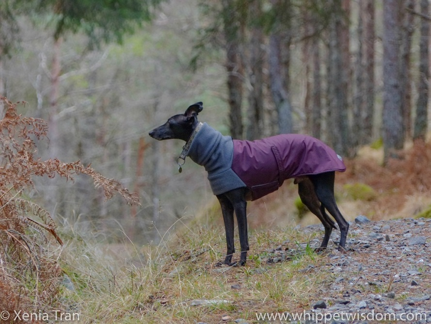 a black whippet in a maroon winter jacket pausing on a forest trail
