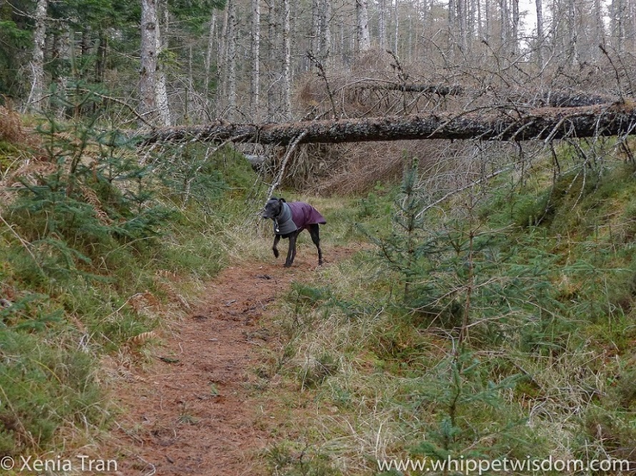 a black whippet in a maroon winter jacket walking underneath a fallen pine tree straddling the trail