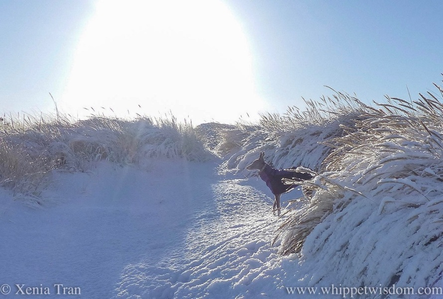 a blue whippet in a winter jacket among snow covered bent grass
