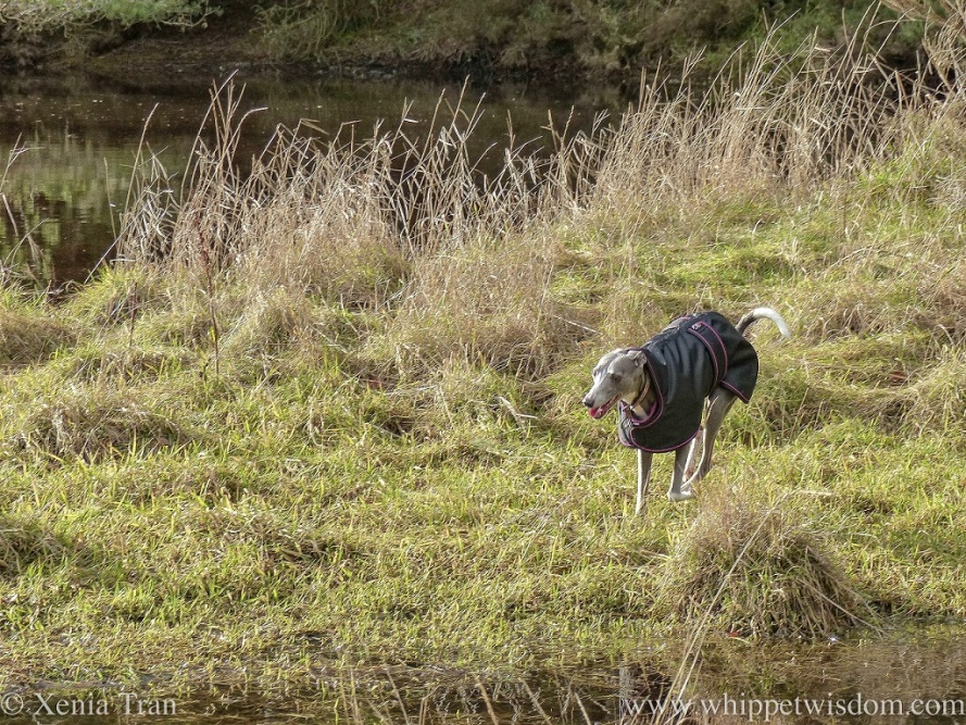 a blue whippet in a black winter jacket leaping through the grass beside a flowing burn