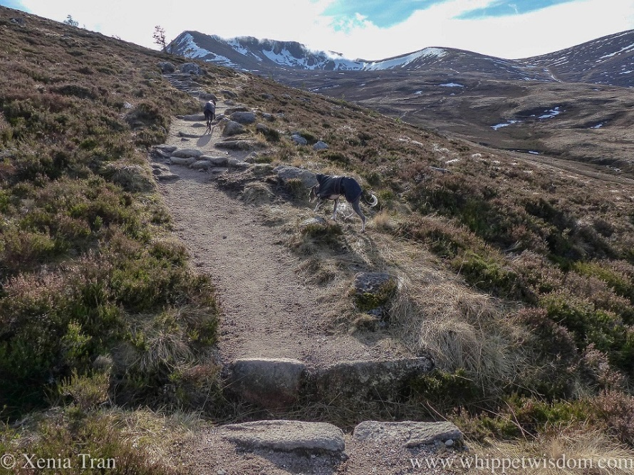 two whippets in black winter jackets climbing a mountain trail