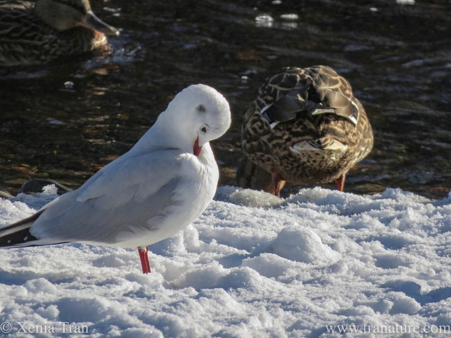 a black headed gull preening himself beside two female mallards on a snow covered river bank