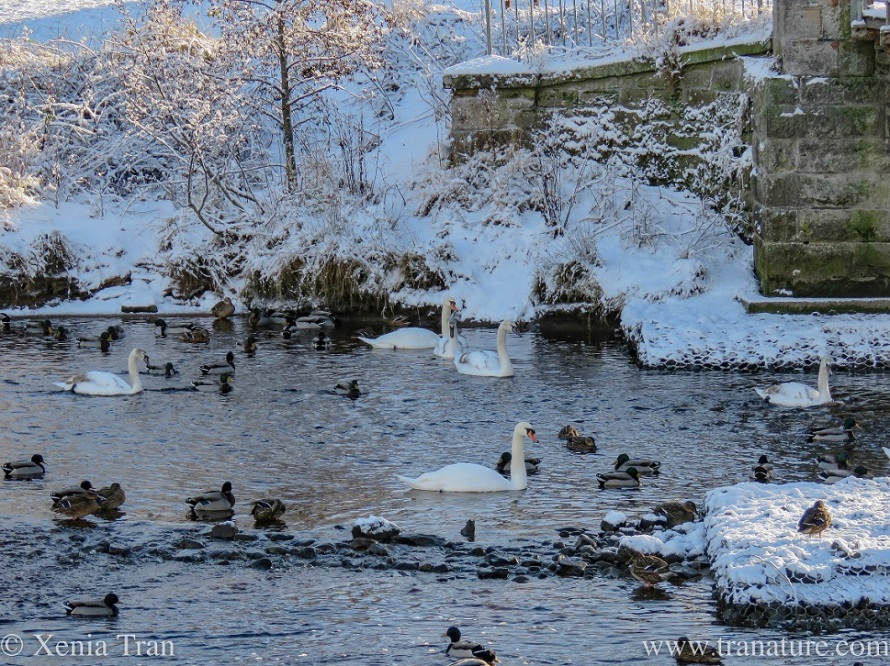 swans, grown up cygnets and mallard ducks in the snow-flanked river
