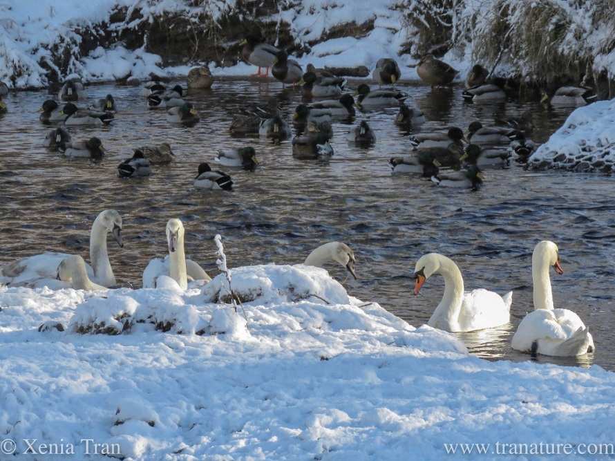 swan parents with their cygnets by the snow-covered bank of the river