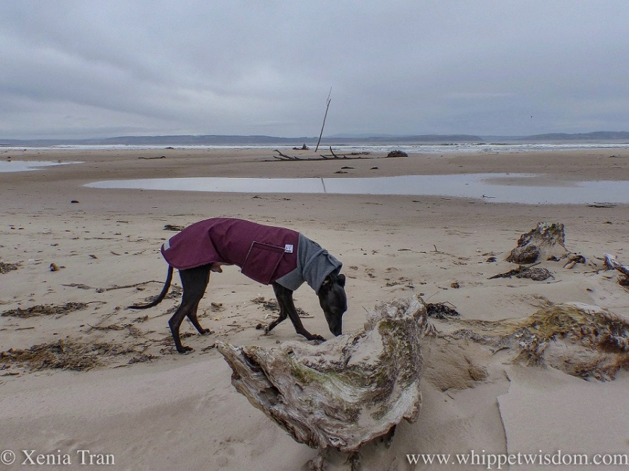 a black whippet in a grey and maroon winter jacket sniffing a driftwood tree covered in sand