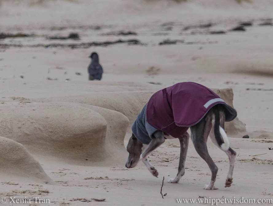 a blue and white whippet in a grey and maroon winter jacket sniffing the sand on the beach