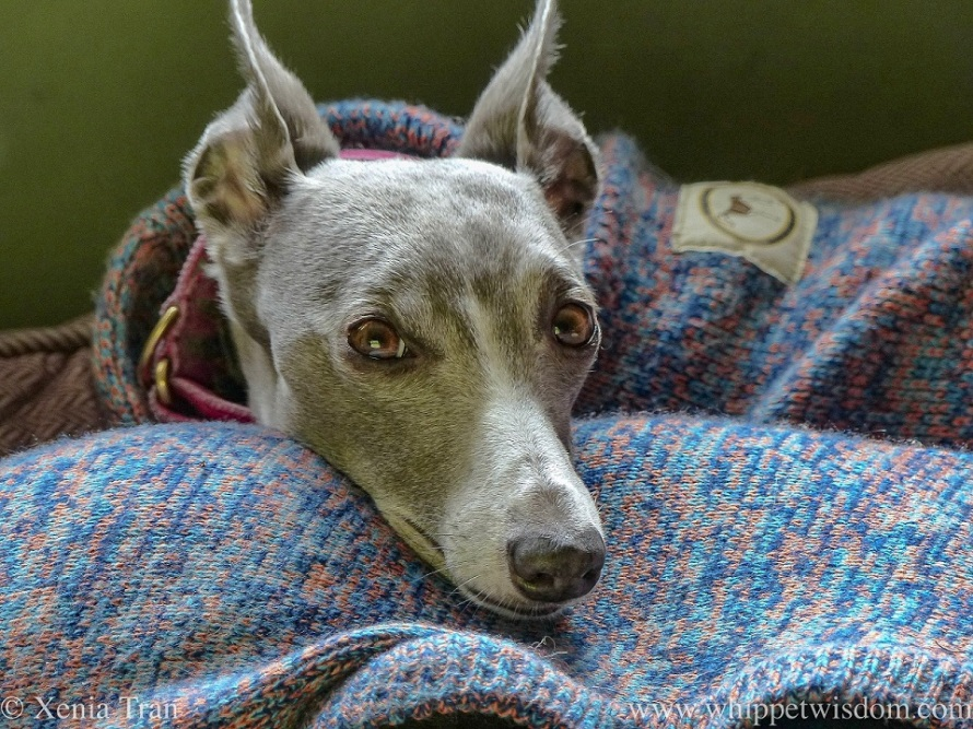 a blue and white whippet in a multi-coloured jumper resting her chin on her pal, also wearing a multi-coloured jumper