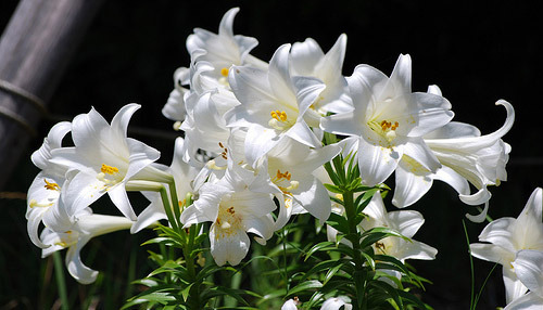 easter-lily-1-1