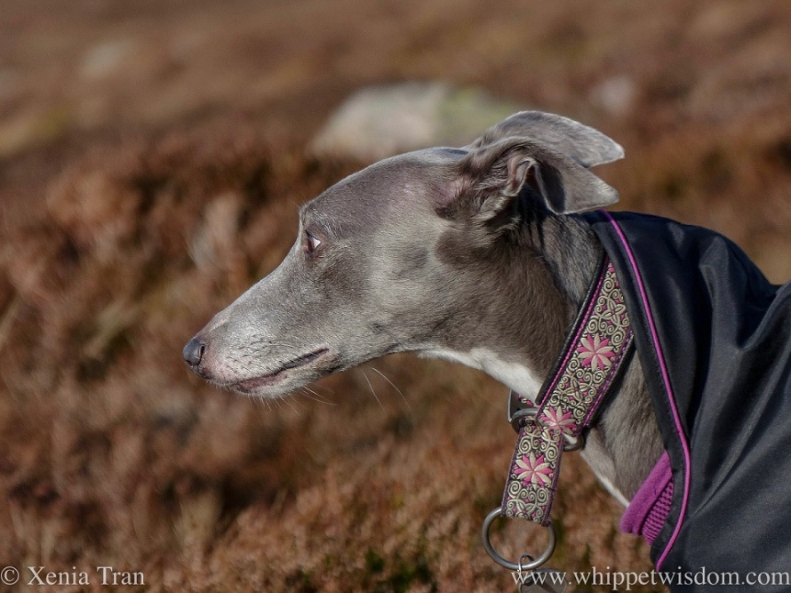 close up profile shot of a blue and white whippet in a black jacket with a pink and write collar among spring heather