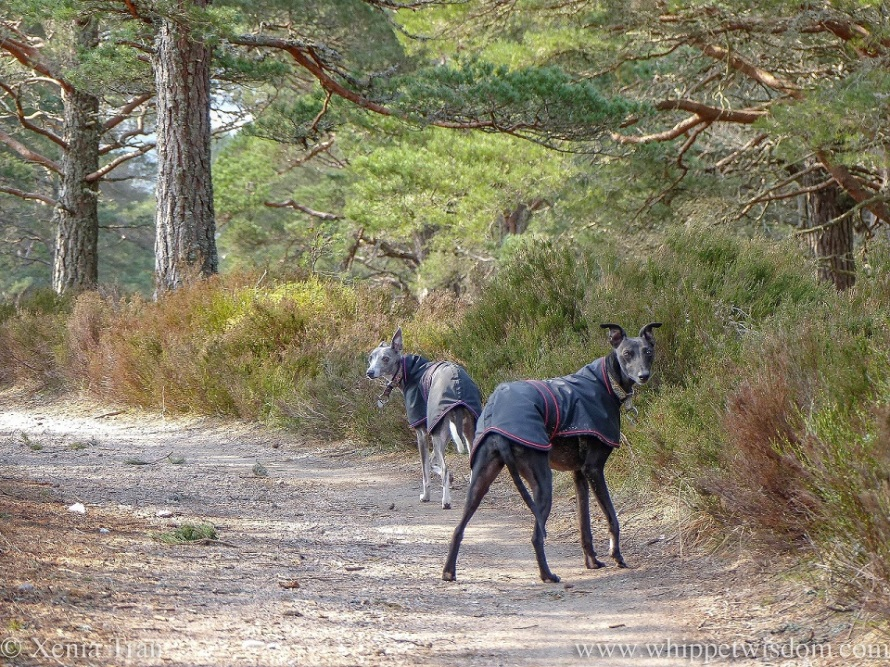 a blue and white whippet and a black whippet, both in black jackets, looking over their shoulder at the camera on a forest trail