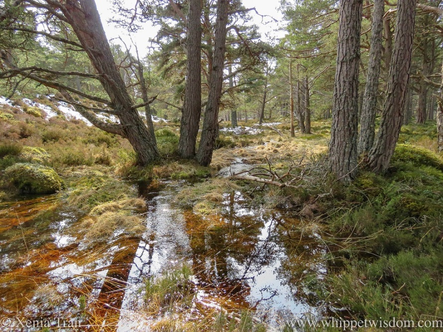 pine trees and sky reflected in a large puddle of snow-melt