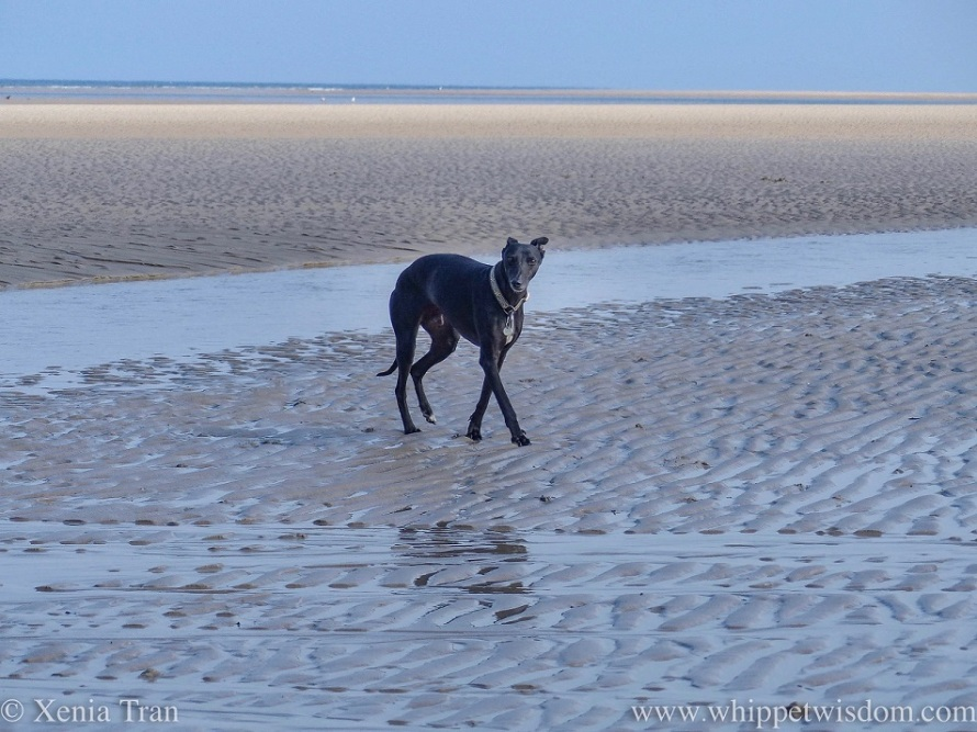 a black whippet walking on tidal sands in early morning mist