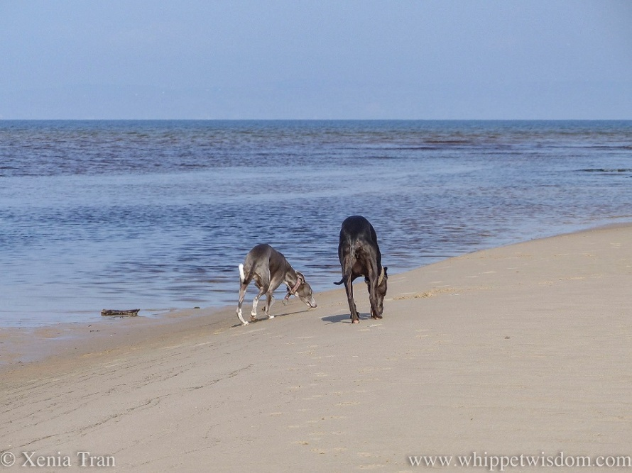 two whippets walking along the edge of a sand bar with a morning haze over the sea