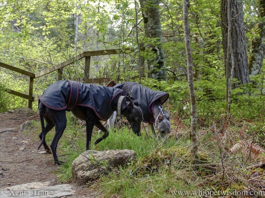two whippets in black jackets sniffing the spring grass along a woodland trail