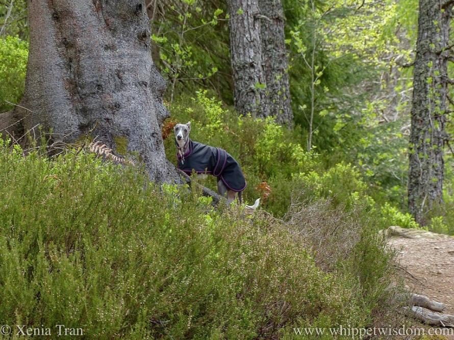 a blue and white whippet in a black jacket in a forest beside a pine tree and green heather