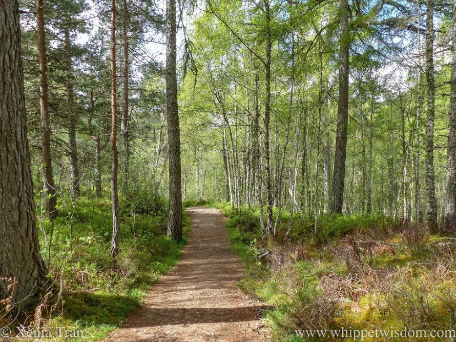 a forest trail with Douglas fir and silver birch trees, heather and ferns in spring