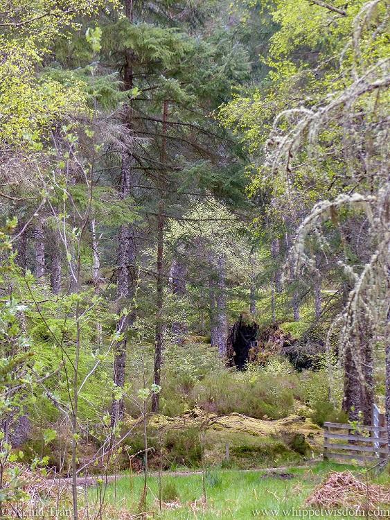 upturned tree roots in forest look like a figure in brown velvet walking, trompe l'oeil